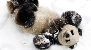 panda playing with snow